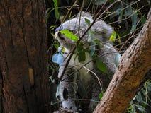 Hiding koala. Eucalyptus tree the Koala's main source of food, hiding behind the branches Royalty Free Stock Photography