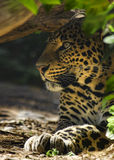 Hiding leopard Royalty Free Stock Photography