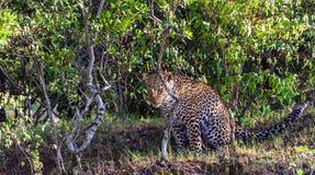 Hiding the leopard. Hunt of hunter. Masai Mara. Hiding the leopard. Hunt of hunter. Masai Mara, Kenya Stock Images