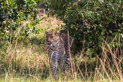 Hiding the leopard. Hunt of predator. Masai Mara, Kenya Stock Images