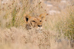 Hiding lion Royalty Free Stock Image