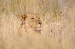 Hiding lion Royalty Free Stock Image