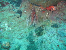 Hiding Lionfish. Lionfish trying to hide amongst sea anemones stock image