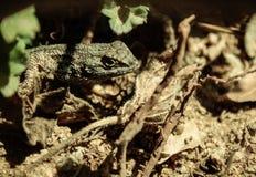 Hiding Lizard in brush. Stock Images