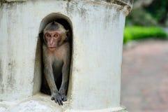 Hiding Monkey stock image