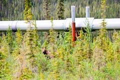 Hiding moose Royalty Free Stock Photography