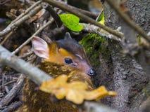 Hiding munjac baby Stock Photo