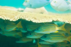 Hiding oriental sweetlips fishes Royalty Free Stock Photography