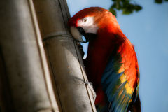 Hiding Parrot. A brightly colored macaw parrot Royalty Free Stock Photography