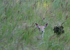 Hiding. A photo of a deer in the wild Stock Photography