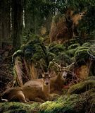 Hiding Place. Two deer resting on a green mossy hillside with a mountain lion peering through the trees – March 2006 Stock Image