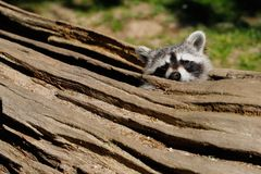 Hiding place of raccoon stock photography