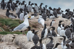 Seagull and guillemots Royalty Free Stock Images