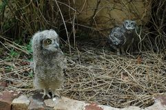Baby spotted eagle owls taking a stroll. Hiding and playing in the garden practicing their hunting skills under the watchful eye of the rehab staff royalty free stock photo