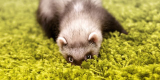 Hiding polecat Royalty Free Stock Photography