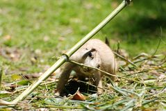 Hiding prairie dog Royalty Free Stock Photos
