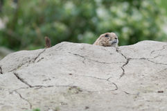 Hiding prairie dog (genus Cynomys) Stock Photos