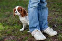 Hiding Puppy. Puppy hiding behind her owners legs Royalty Free Stock Images