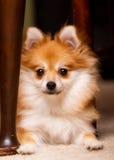 Hiding Puppy Stock Image