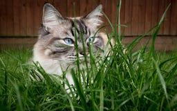 Hiding Ragdoll cat. Stock Photos