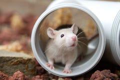 Hiding rat. A cute cream colored rat hiding inside a plumbing pipe Stock Photos