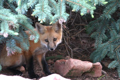 Hiding red fox kit. A young red fox kit hiding under a spruce tree Royalty Free Stock Photo