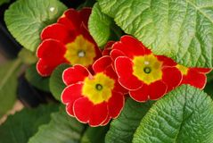 Hiding Red Primrose under green leaves Stock Photos