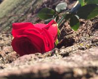 Hiding Rose. A beautiful rose hiding behind a tree trunk Stock Photography