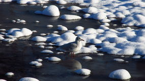 Hiding seagull Stock Image