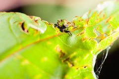 Hiding spider. A small spider crawling on a green lush leaf Stock Images