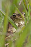 Hiding Toad Stock Image