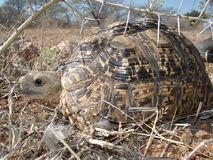 Hiding tortoise. Tortoise protecting itself from prey in the dry African landscape under a thorny bush Stock Photo