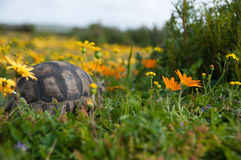 Hiding tortoise. View of a tortoise between colorful flowers in a grassland, Western Cape, South Africa Stock Photo