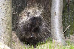 Hiding tree porcupine stock images