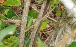 Hiding Tree Skink Royalty Free Stock Images