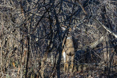 Hiding Trophy Buck Royalty Free Stock Image