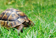 Hiding turtle on green grass. Turtle on green grass with tucked into his head Royalty Free Stock Photography