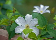 Hiding White Clematis Royalty Free Stock Photography