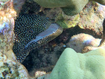 Hiding white mouth moray eel Stock Image