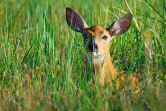 Hiding. A White-tailed deer fawn rests in the grasses of Colorado on a summer morning Royalty Free Stock Image