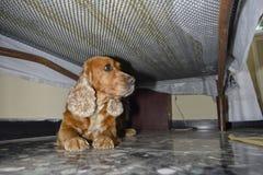 Hidinh de cocker spaniel do cão de cachorrinho imagens de stock