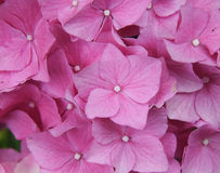 Hidradenia cor-de-rosa Fotografia de Stock Royalty Free