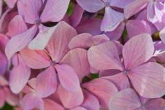 Hidrangeas rosado Imágenes de archivo libres de regalías