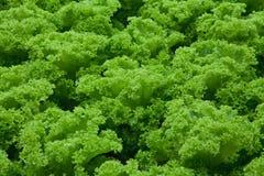 Hidrocultivo de las verduras Fotografía de archivo libre de regalías