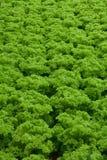 Hidrocultivo de las verduras Imagen de archivo