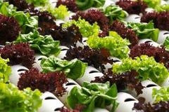Hidrocultivo vegetal Fotos de archivo libres de regalías