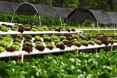 Hidrocultivo vegetal foto de archivo