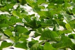 Hidrocultivo vegetal Foto de archivo libre de regalías