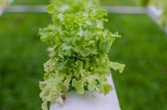Hidrocultivo verde de las verduras Fotografía de archivo