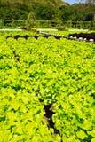 hidroponic φυτό μαρουλιού Στοκ φωτογραφίες με δικαίωμα ελεύθερης χρήσης
